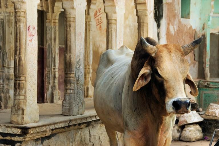 Haben indische Kühe Super-Kräfte