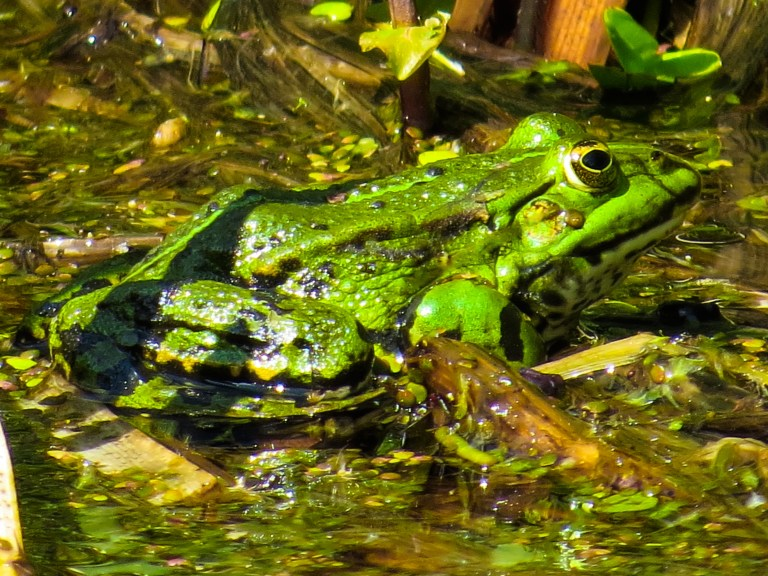 Amphibien starten Laichzug