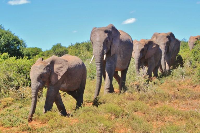 Wilderer von Elefantenherde zu Tode getrampelt