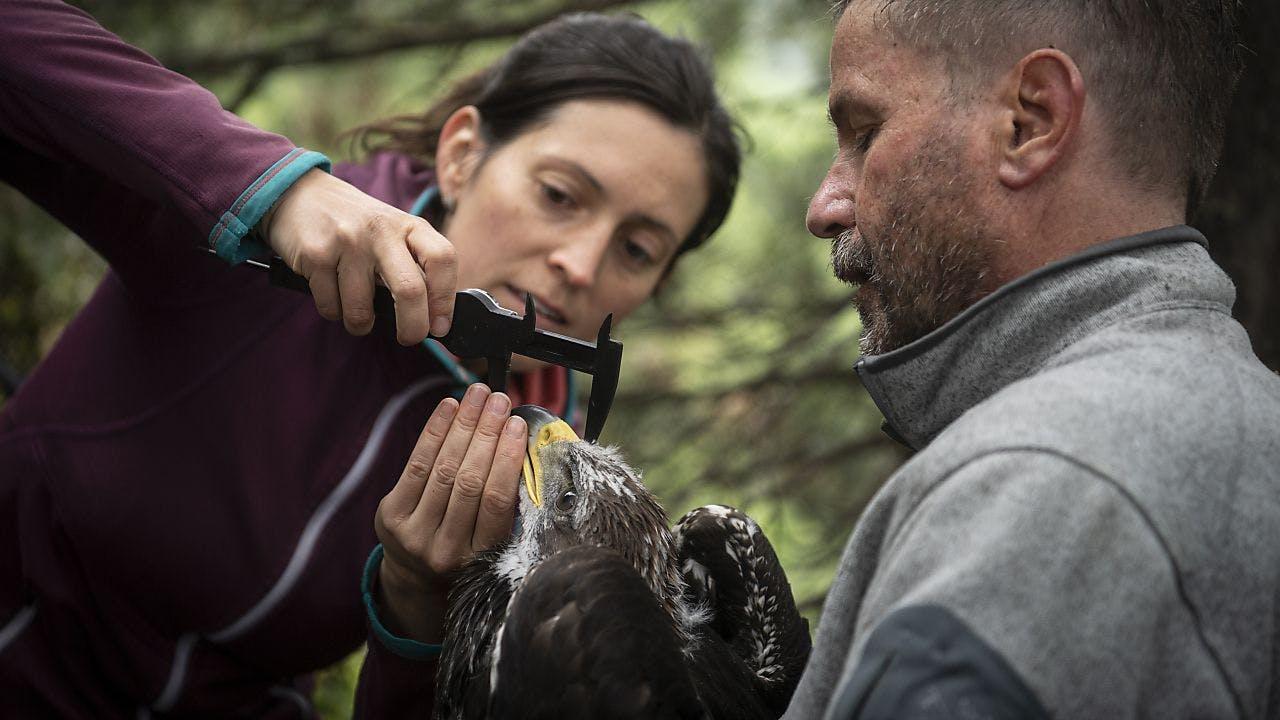 Biologen besendern junge Steinadler