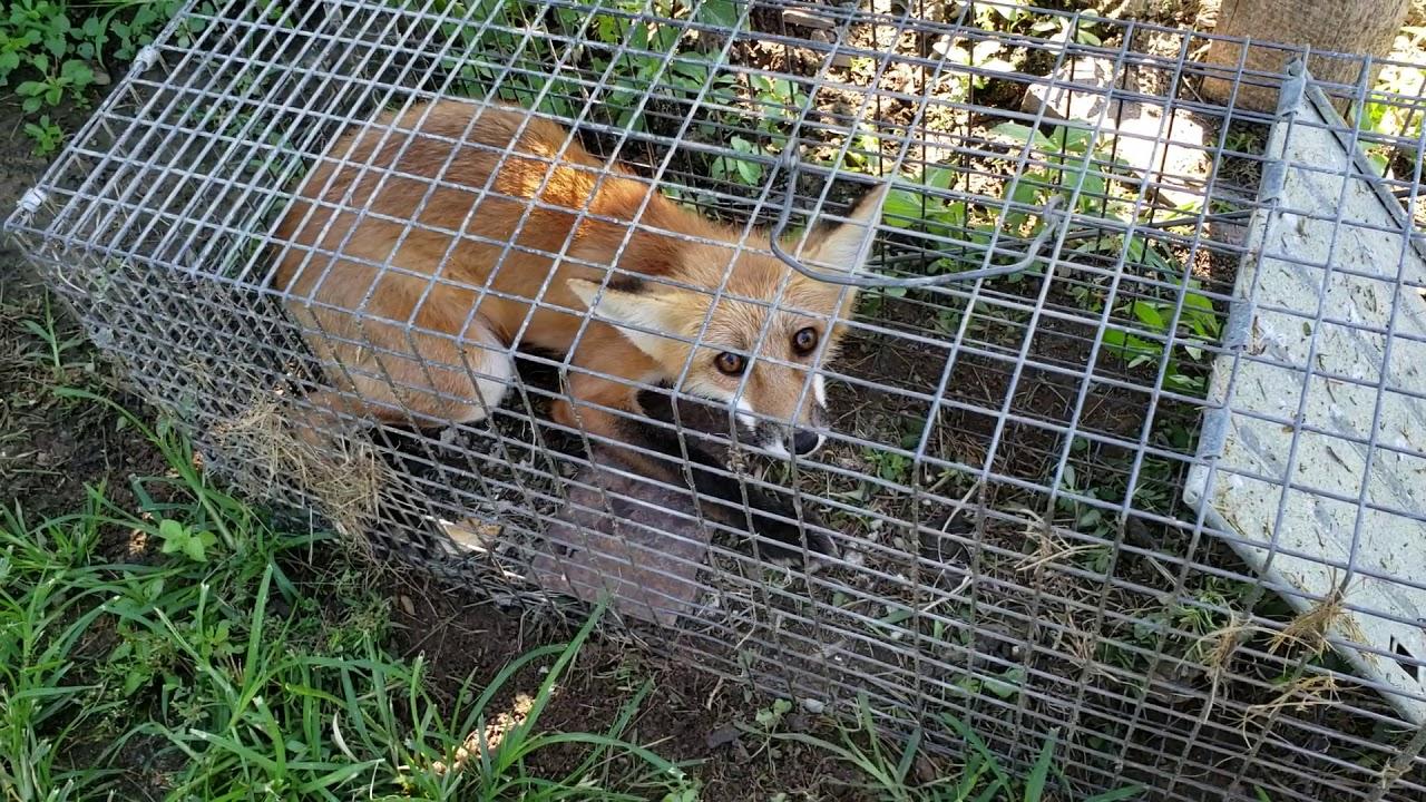 D: Tierschutzverbände fordern Verbot der Fallenjagd