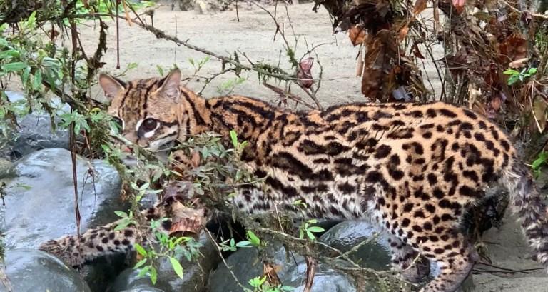 Ecuador wildert Ozelots aus illegalem Handel aus