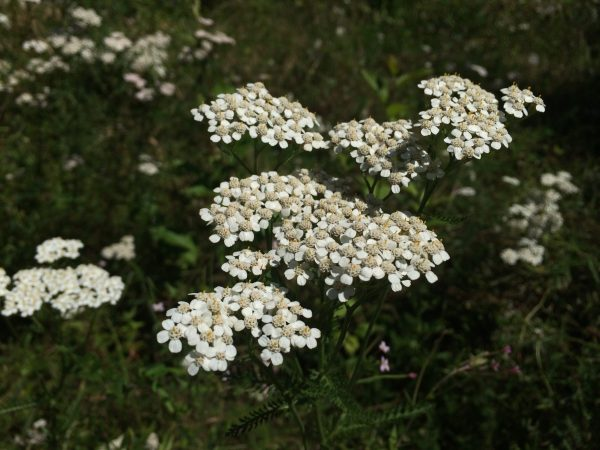 yarrow plant photo