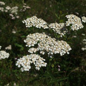 yarrow plant photo