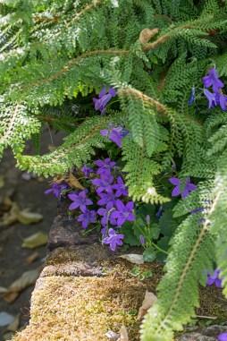 Sissinghurst - Fern & Campanula