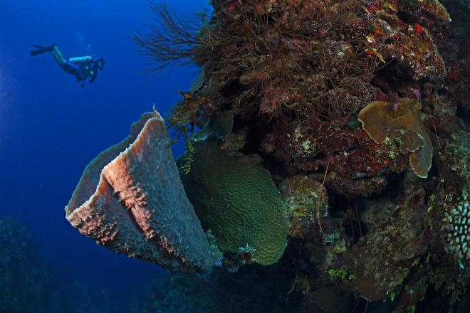 Brown Bowl Sponge (Cribochalina vasculum) and diver, Guanahacabibes Peninsula National Park, Pinar del Rio Province, western Cuba, September