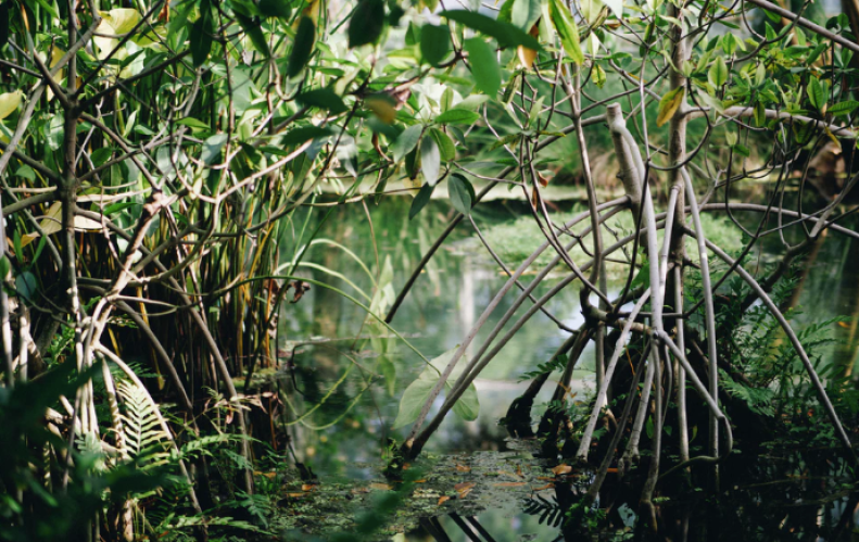 Mangroves filter and purify water