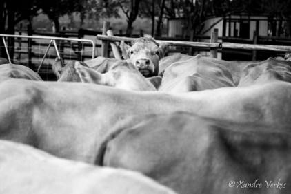 Xandre Verkes - Cattle Farm-10