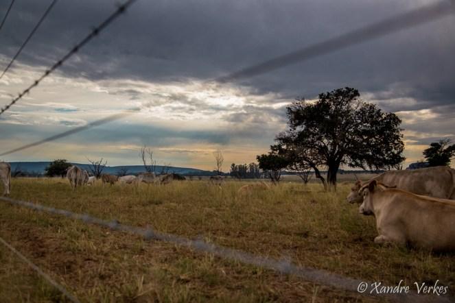 Xandre Verkes - Cattle Farm-4