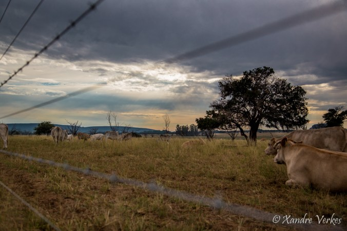 Xandre Verkes - Cattle Farm-4
