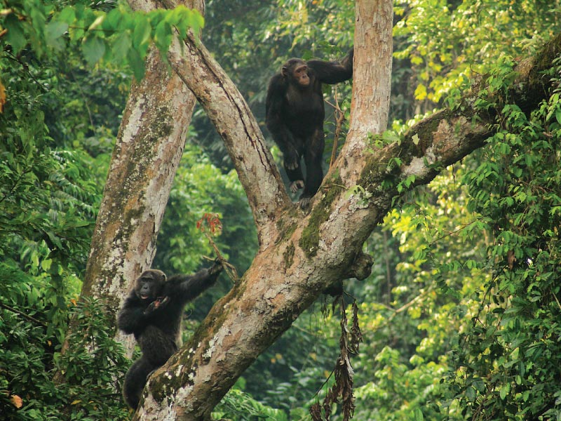 Kyambura Gorge Chimps - Chimp Tracking Tour