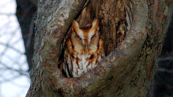 The Eastern Screech Owl nesting project – WildEarth
