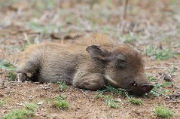baby-warthog