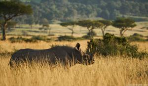 Black rhino gazes across a vast open territory
