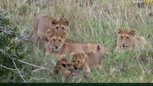 Adorable puddle of Angama pride cubs!