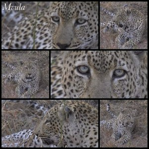 Ther former leopard king of Djuma.