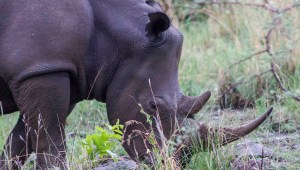 White rhino bull grazing on fresh green grass