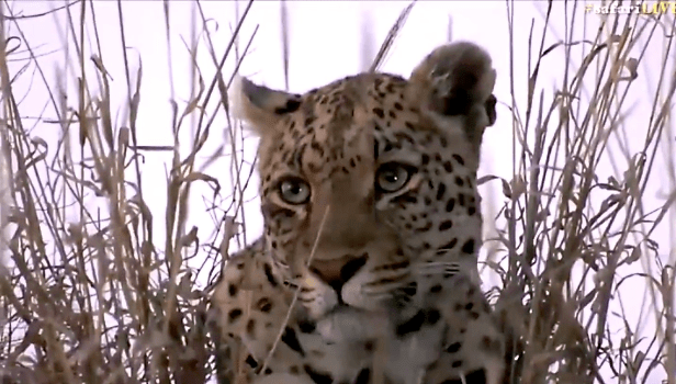 Shadow female leopard