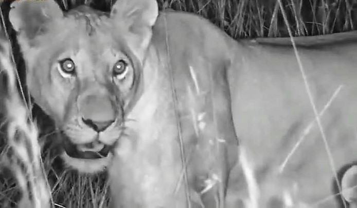 Mugoro pride lioness