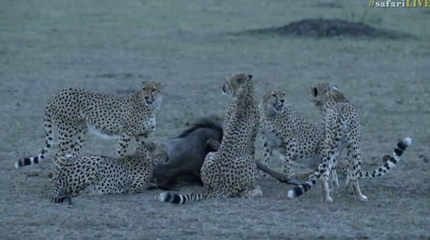 The Musketeer cheetah coalition