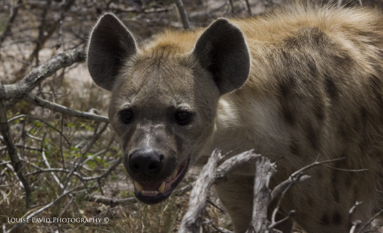 Image of: Prey Matter Of Perspective Wild Dog Pack Vs Hyena Wildearth Matter Of Perspective Wild Dog Pack Vs Hyena Wildearth