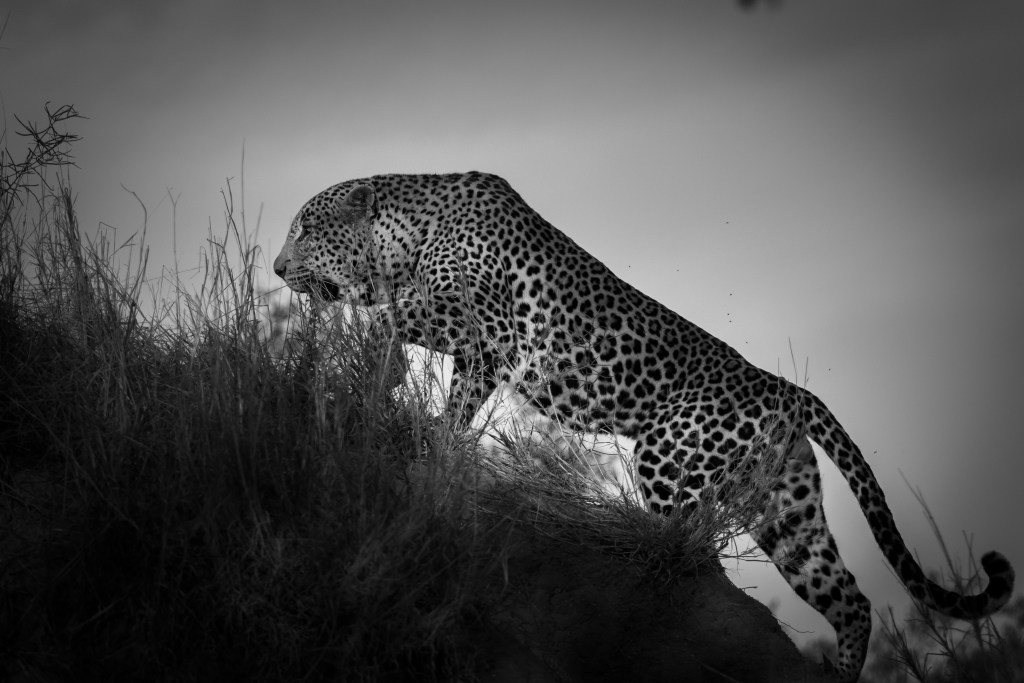 Tingana male leopard scales a termite mound.