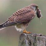 Das Turmfalken-Weibchen