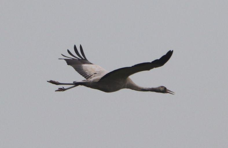 Große Vögel an der Ahse