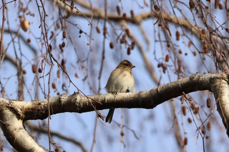 Buchfink-Weibchen