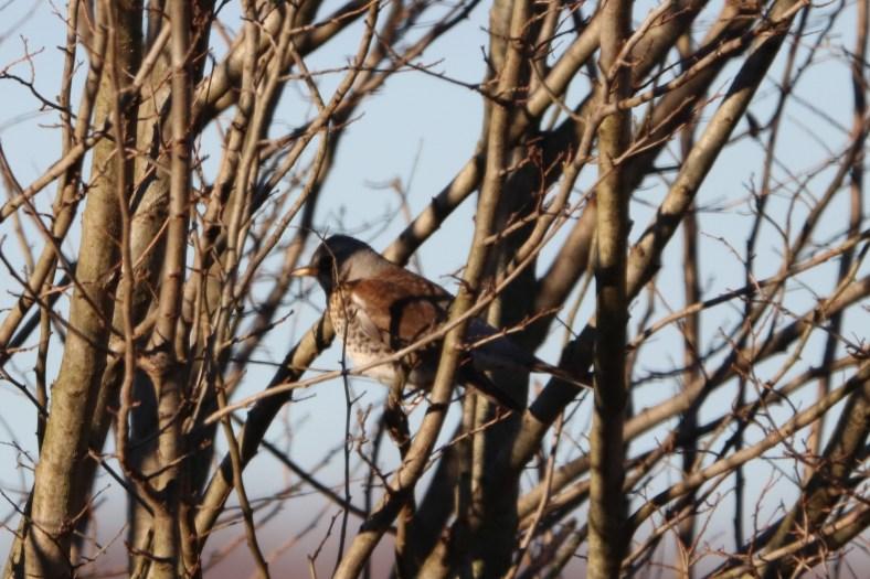 Singvögel aus dem hohen Norden
