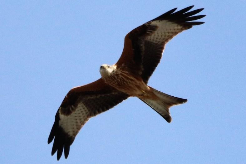 Der Rotmilan - Der König der Flieger ist bedroht