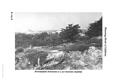 San Francisco Manzanita at the Former Laurel Hill Cemetery, 1937