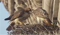 pale_male_nest_small