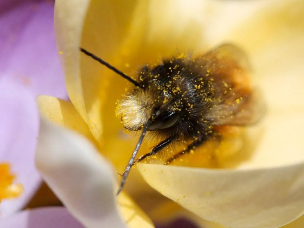 Männchen der Gehörnten Mauerbiene in einem Krokus