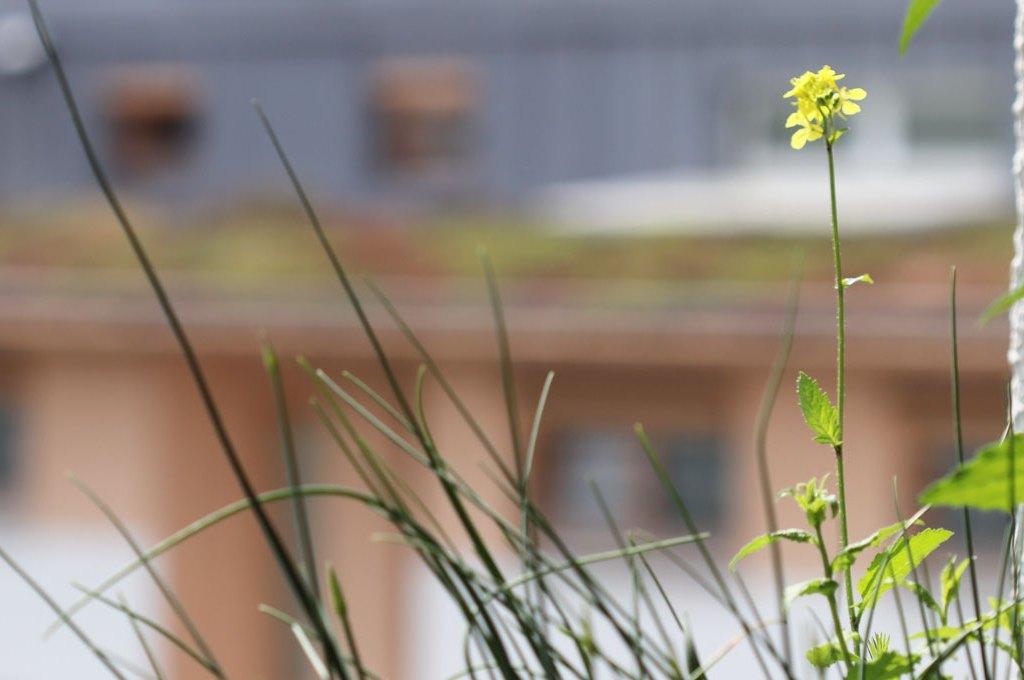 Ackersenf (Sinapis arvensis) auf dem Wilden Meter
