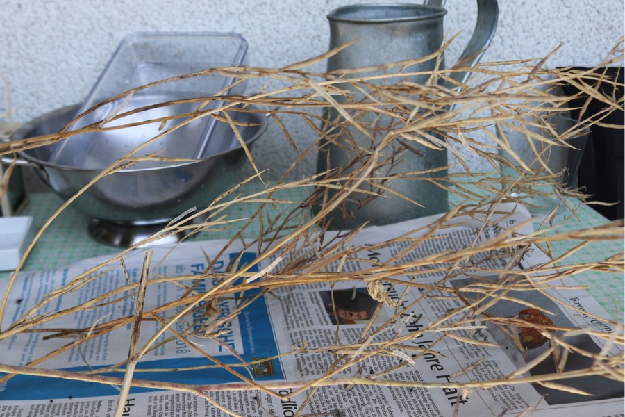 Ackersenf mit reifen Samen in den Schoten.