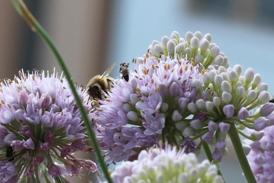 Honigbiene auf Berglauch auf dem Wilden Meter