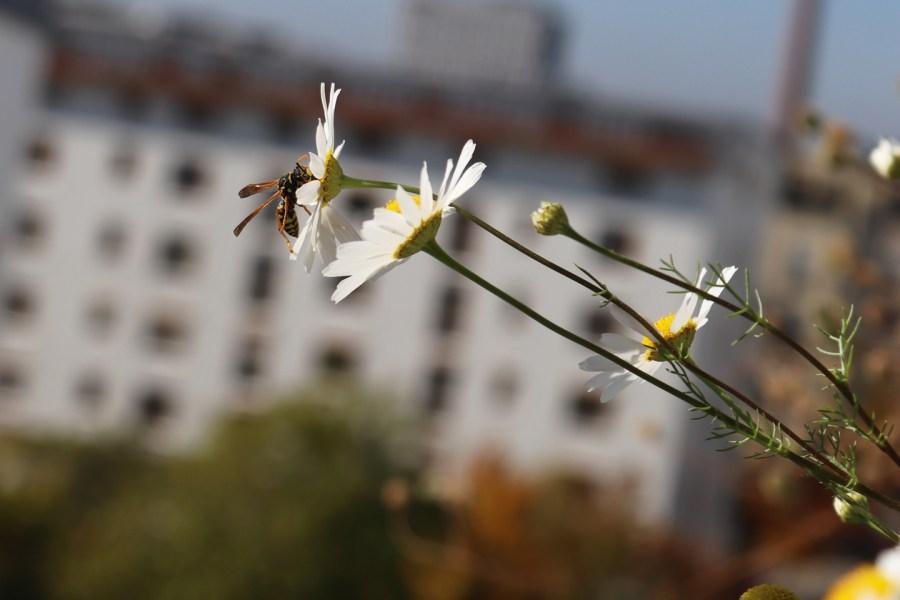 Feldwespe auf Geruchsloser Kamille (Matricaria inodora)