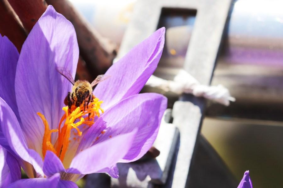 Honigbiene im Pracht-Herbstkrokus (Crocus speciosus)