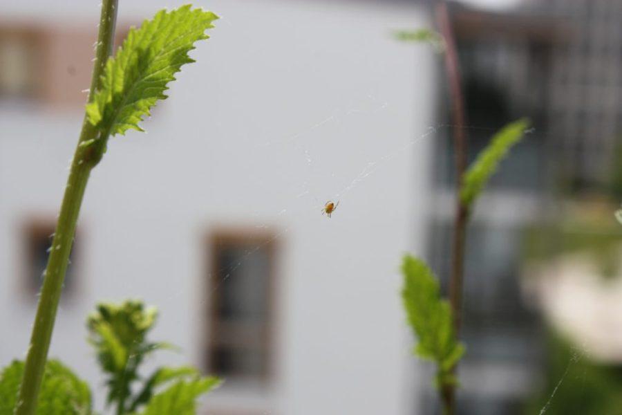 Gartenkreuzspinne (Araneus diadematus), Spiderling