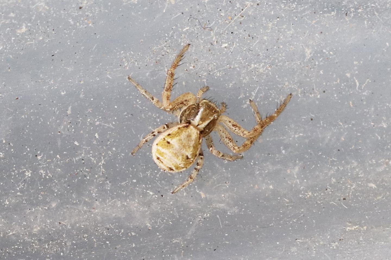 Krabbenspinne Krabbenspinne (Xysticus spec.)