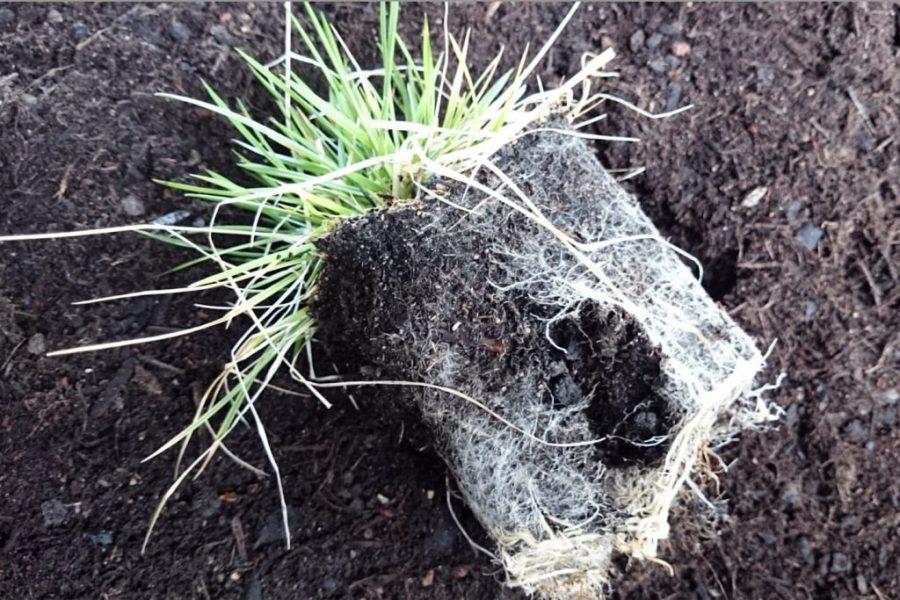 Pflanze mit etwas aufgelockertertem Ballen.
