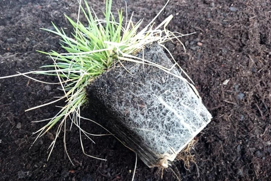 Ausgetopfte Pflanze: Man sieht den gut durchwurzelten Ballen.