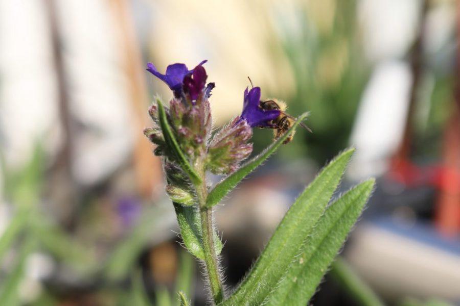 Gewöhnliche Ochsenzunge (Anchusa officinalis) und Männchen der Rostroten Mauerbiene (Osmia bicornis)