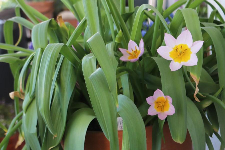 Felsen-Tulpe der Sorte 'Lilac Wonder' (Tulipa bakeri 'Lilac Wonder')