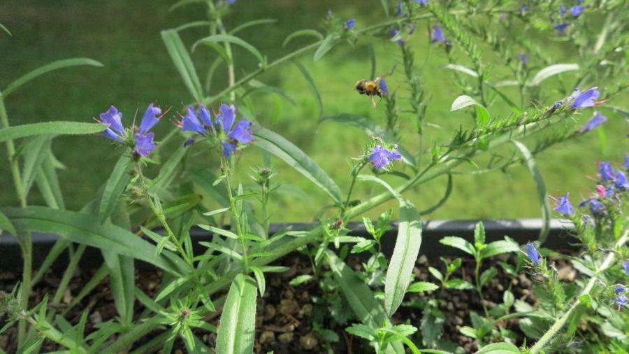 Eine Ackerhummel (Bombus pascuorum) im Anflug auf den beliebten Gewöhnlichen Natternkopf (Echium vulgare)