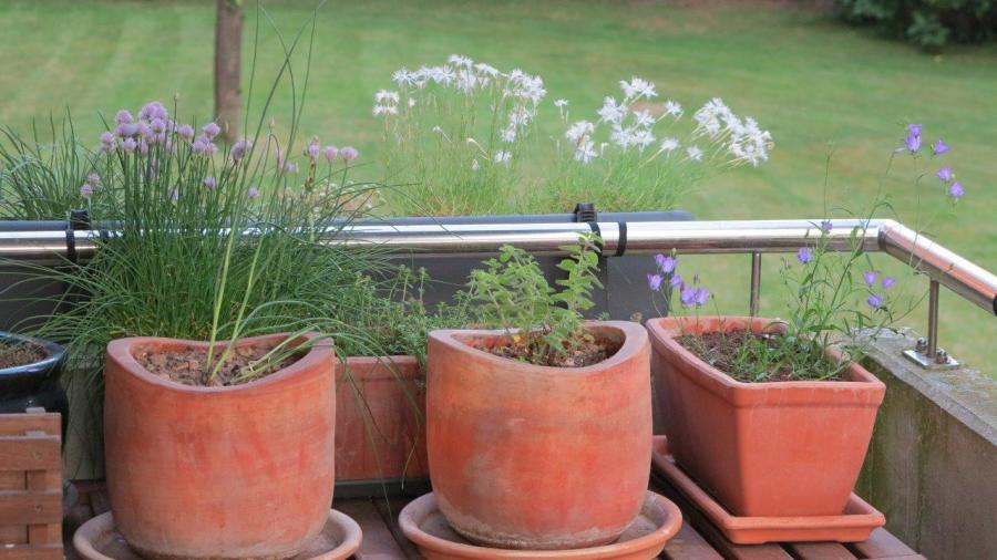 Lauche, Sandnelken (Dianthus arenarius), Thymian (Thymus pulegioides), Dost (Origanum vulgare) und Glockenblumen (Campanula rotundifolia)