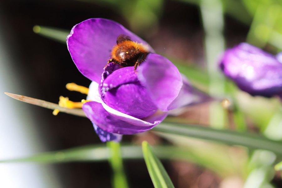 Männchen der Gehörten Mauerbiene in der Blüte eines Elfen-Krokus (Crocus tommasinianus)
