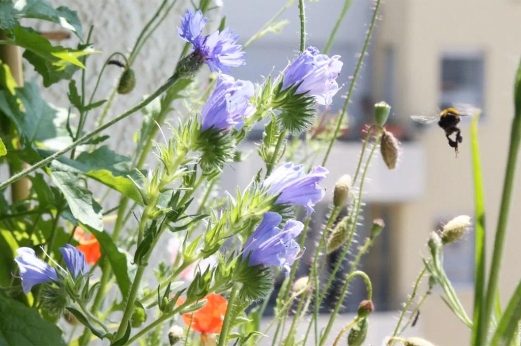 10 Gründe für einen Wildblumen-Balkon - Hummel im Anflug auf Wildblumen