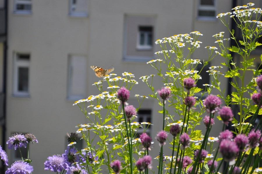Mutterkraut mit Schmetterling
